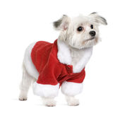 Mixed Breed dog in Santa coat, 6 months old Stock Images