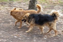 Mixed-breed dog with scars on the snout running with other two dogs on earth road. Old mixed-breed dog with scars on the snout running with other two dogs on royalty free stock photo