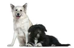 Mixed-breed dog and Shih-Tzu Stock Images