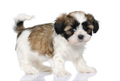 Mixed-Breed Dog between Shih Tzu and maltese dog Royalty Free Stock Image