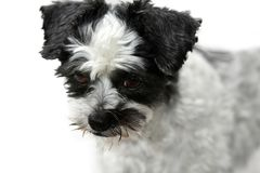 Cute little mongrel dog with scary looking eyes
