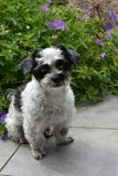 Cute little dog with big eyes. Mixed-breed dog between shih tzu and maltese dog sitting  in the garden Stock Images