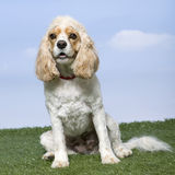 Mixed-Breed Dog sitting Royalty Free Stock Photo
