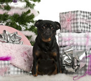 Mixed-breed dog sitting with Christmas tree Royalty Free Stock Image