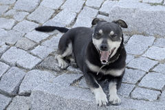 Mixed-Breed dog sitting on the cobblestone Stock Photography