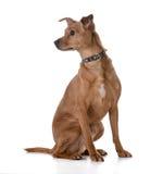 Mixed breed dog Royalty Free Stock Photos