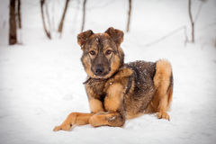 Mixed breed dog on the snow. Mixed breed dog, 7 mounth old, on the snow Stock Photos