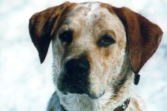Pointer Mix. Mixed Breed dog in the snow royalty free stock photography