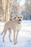 Mixed breed dog on the snow. Red mixed breed dog standing on the snow Royalty Free Stock Photos