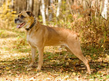 Mixed breed dog standing in Forest with Autumn colors Royalty Free Stock Images