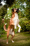 Mixed-breed dog standing on hind legs royalty free stock photo
