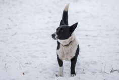 Mixed breed dog standing on a winter street ready to defend its territory Stock Photo