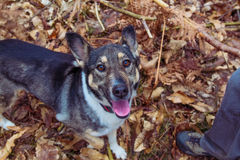 Mixed breed dog. Royalty Free Stock Images