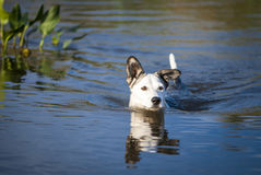 Mixed breed dog swims in the lake Stock Photo