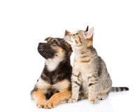 Mixed breed dog and tabby cat. isolated on white background Stock Image