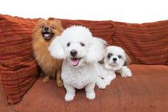 Mixed breed dog three on a sofa Royalty Free Stock Image