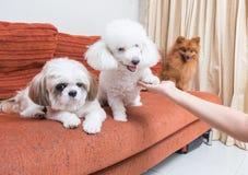 Mixed breed dog three on a sofa. Stock Photography
