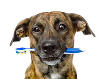 Mixed breed dog with a toothbrush. isolated on white background Stock Photos