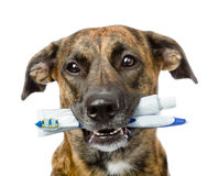 Mixed breed dog with a toothbrush and toothpaste. isolated Royalty Free Stock Photos