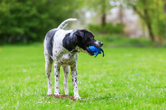 Mixed breed dog with a toy in the snout. Playing in the meadow Royalty Free Stock Photos