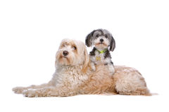 Mixed breed dog up on a Tibetan terrier. Cute mixed breed dog up on a Tibetan terrier, isolated on a white background Stock Photography