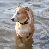 Mixed-Breed Dog Wading in Shallow Water Royalty Free Stock Photography