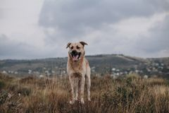 Mixed breed dog walking on the field. royalty free stock photos