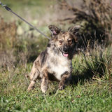 Mixed breed dog. Walking on the leash Royalty Free Stock Photos