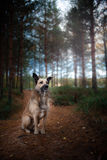 Mixed breed dog walking in the woods, the lake, on the sandy shore Royalty Free Stock Photos