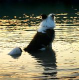 Mixed-Breed dog in the water Royalty Free Stock Photos