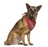 Mixed-breed dog wearing handkerchief, 14 years old Royalty Free Stock Photos