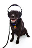 Mixed breed dog wearing headphones. On white background Stock Images