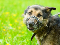 Mixed breed dog  wearing a muzzle Royalty Free Stock Images