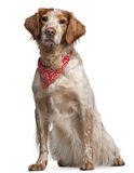 Mixed-breed dog wearing red handkerchief. Sitting in front of white background Royalty Free Stock Photo