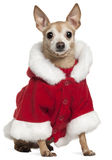 Mixed-breed dog wearing Santa outfit Stock Photos