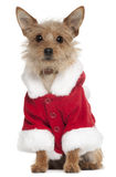 Mixed-breed dog wearing Santa outfit Royalty Free Stock Images