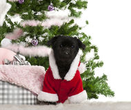 Mixed-breed dog wearing Santa outfit Stock Image