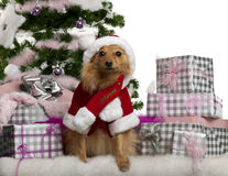 Mixed-breed dog wearing Santa outfit Stock Images