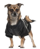 Mixed-breed dog wearing shirt, 6 years old Stock Photography