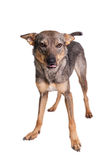 Mixed breed dog on white Stock Photos