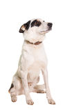 Mixed breed dog on white Royalty Free Stock Photo