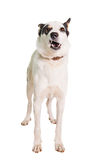 Mixed breed dog on white Royalty Free Stock Image