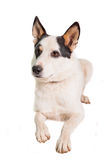 Mixed breed dog on white Stock Photography