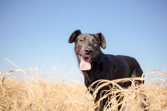 Mixed breed dog in yellow grass. Black mixed breed dog in yellow grass Royalty Free Stock Image