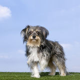 Mixed-Breed Dog with a yorkshire (8 years old) Royalty Free Stock Photos