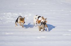 Mixed breed dogs attacking basenji dog. While playing on a fresh snow Stock Images