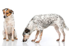 Mixed breed dogs Stock Photography