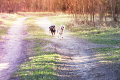 Mixed breed dogs running Stock Images