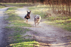 Mixed breed dogs running Stock Image