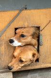 Mixed breed dogs Stock Image